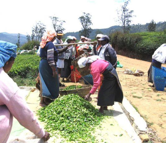 Tea plantation workers weighing the tea that they have picked. They earn the equivalent of 66p a day and if they don't pick 44lbs of tea a day, their wages are halved