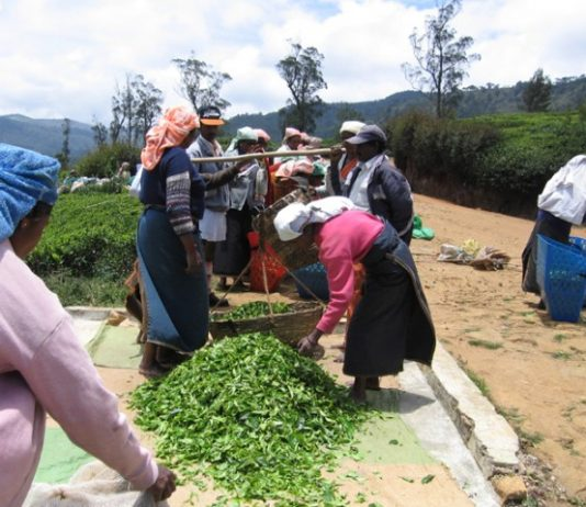 Tea pickers in the central highlands of Sri Lanka