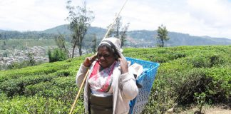 Tamil tea picker in the Sri Lankan highlands