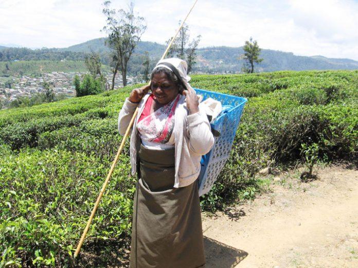 Tamil tea picker in the Sri Lankan highlands